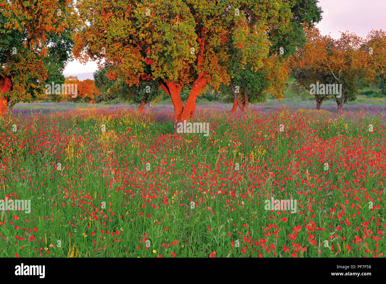 Cork oaks surrounded by green grass and wild colorful flowers - Stock Image