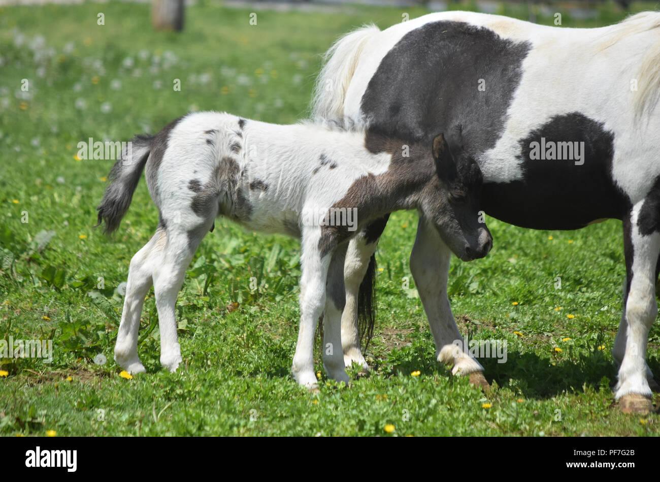 Beautiful Sweet Baby Black And White Paint Miniature Horse Stock Photo Alamy