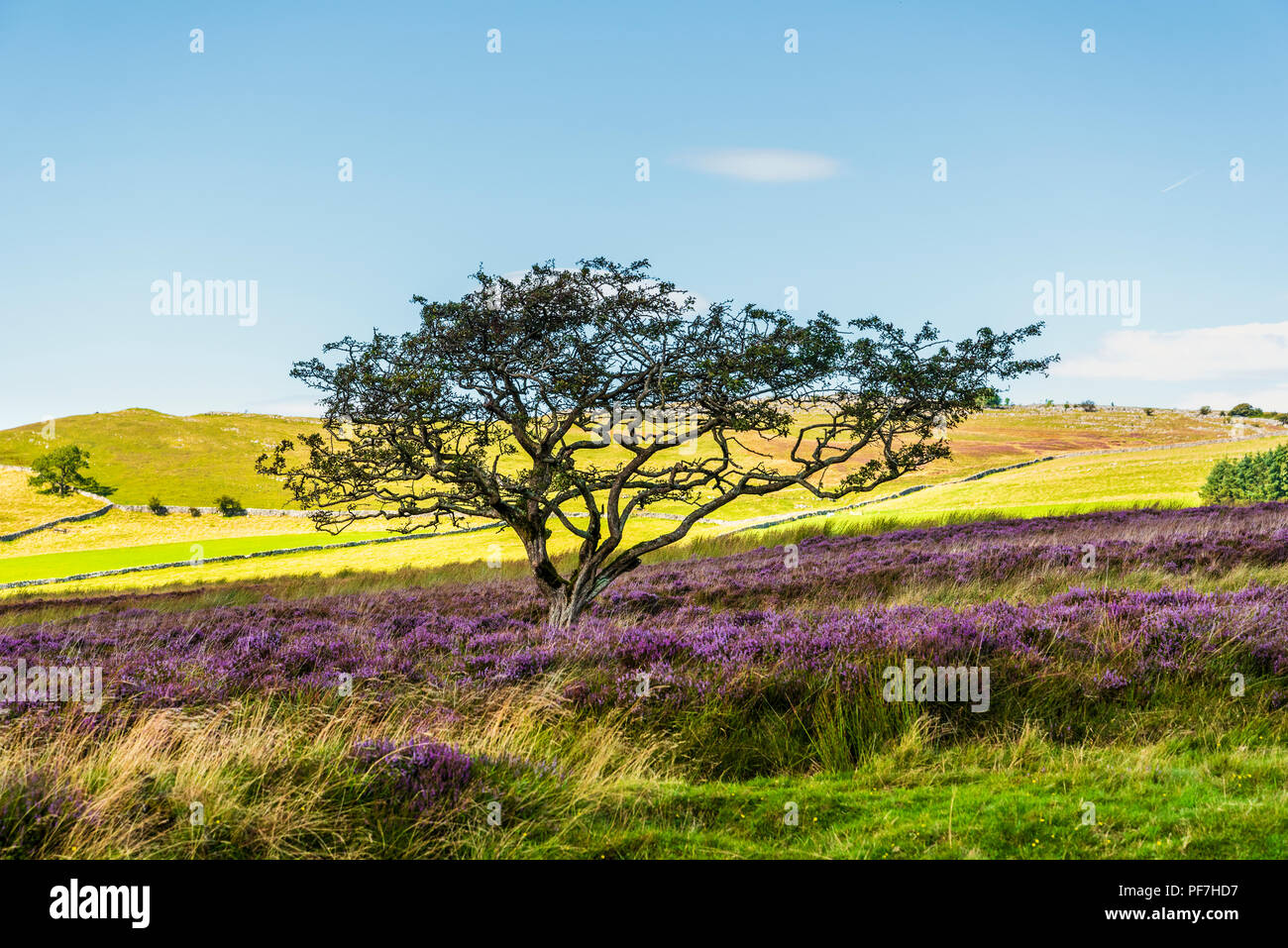 Thorn tree and heather on moors near Sunbiggin Cumbria - Stock Image