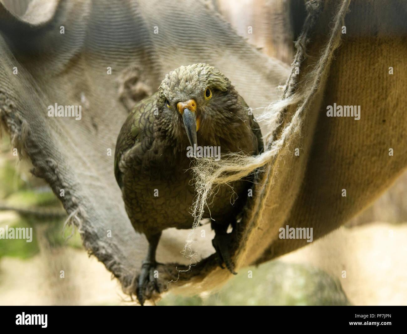 A bird with a sharp beak sits on a hammock. - Stock Image