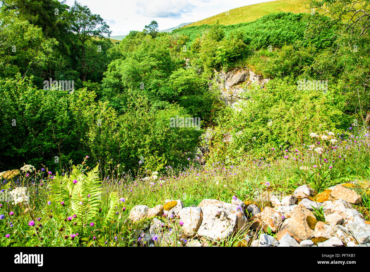 The ravine of Ling Gill above Ribblesdale. Yorkshire Dales National Park. It is a Site of Special Scientific Interest and a National Nature Reserve - Stock Image