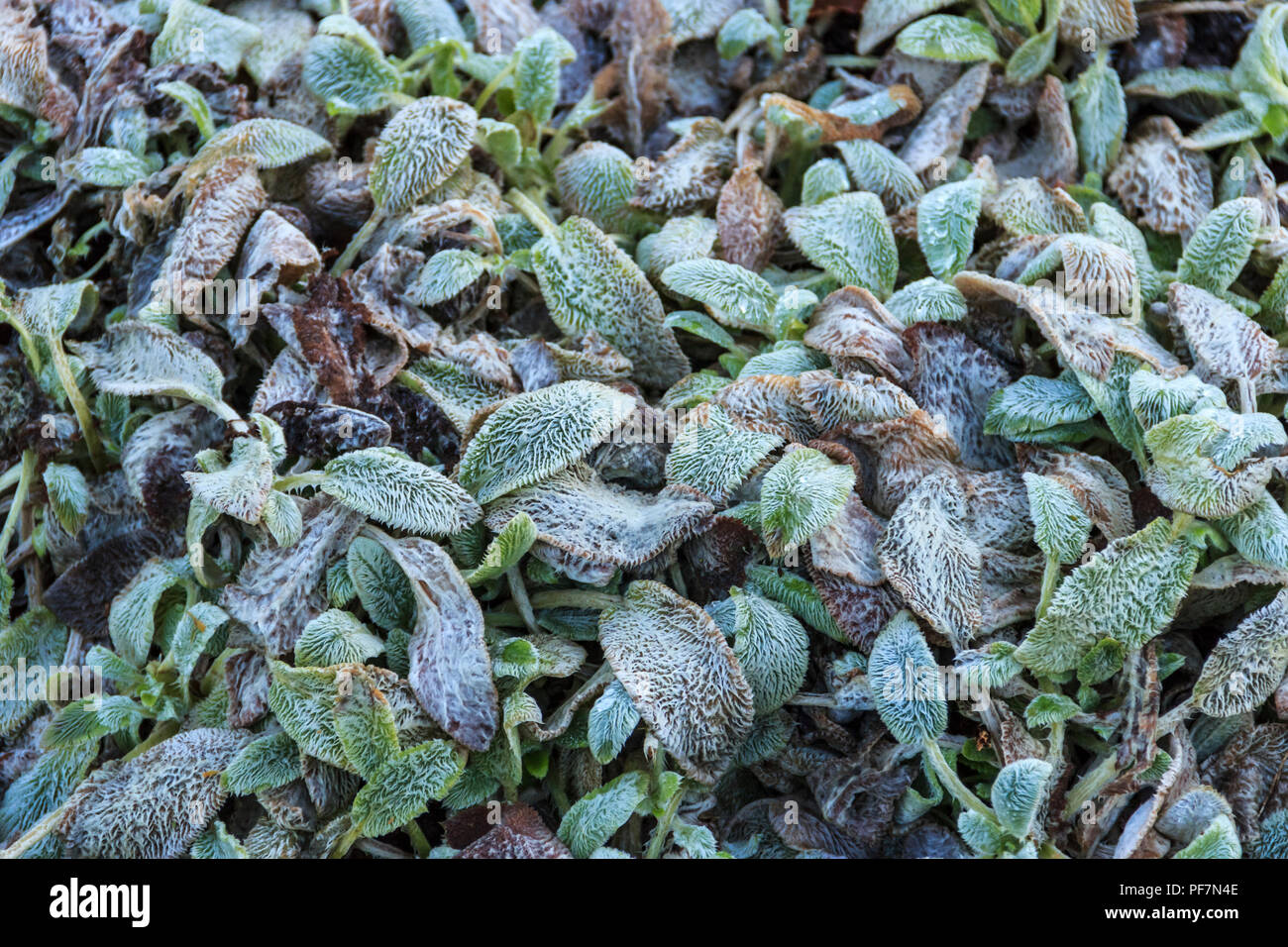 Floral background, frost on hairy blue-green plant leaves - Stock Image