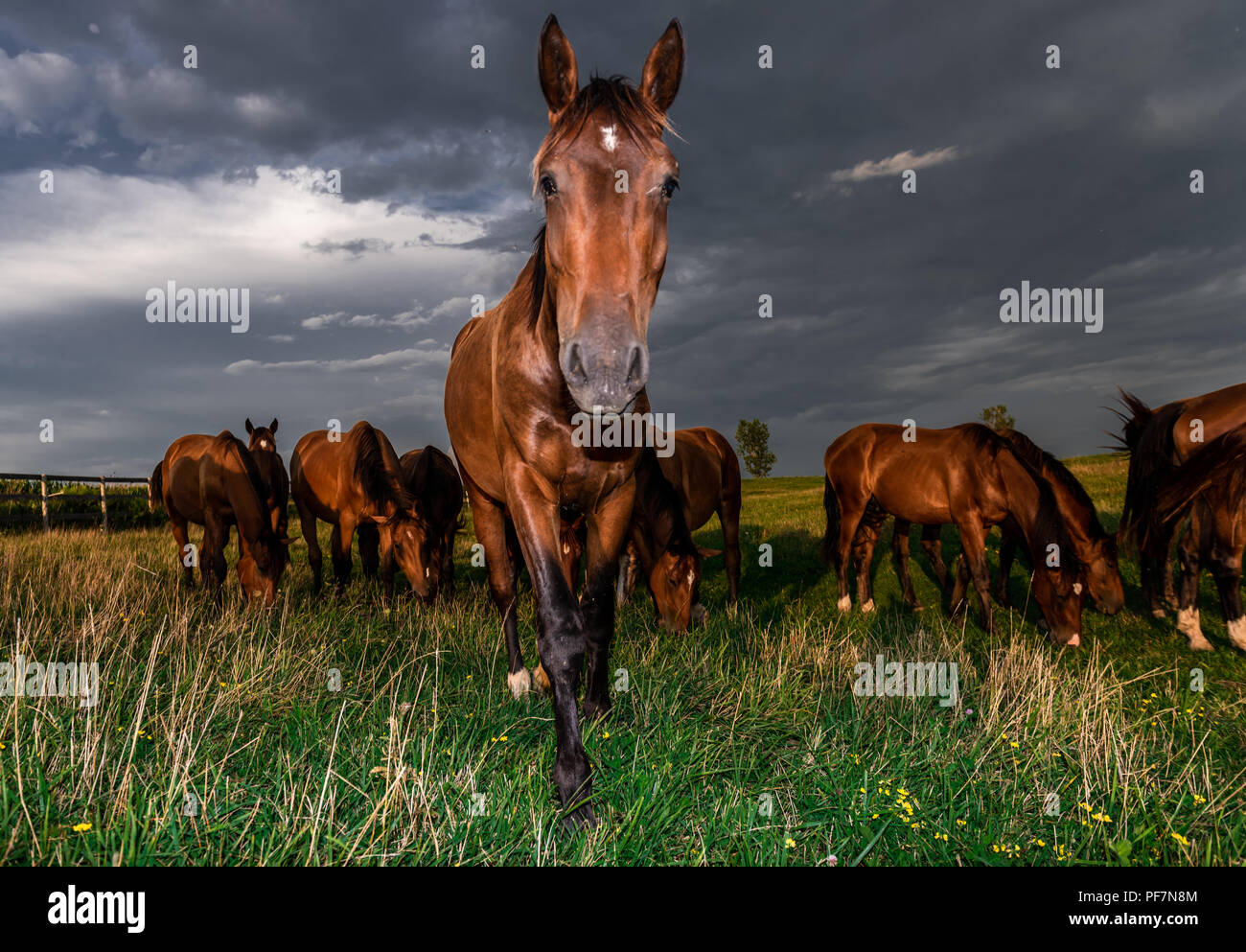 Young Colts enjoy the evening sun in their London Ontario pasture. - Stock Image