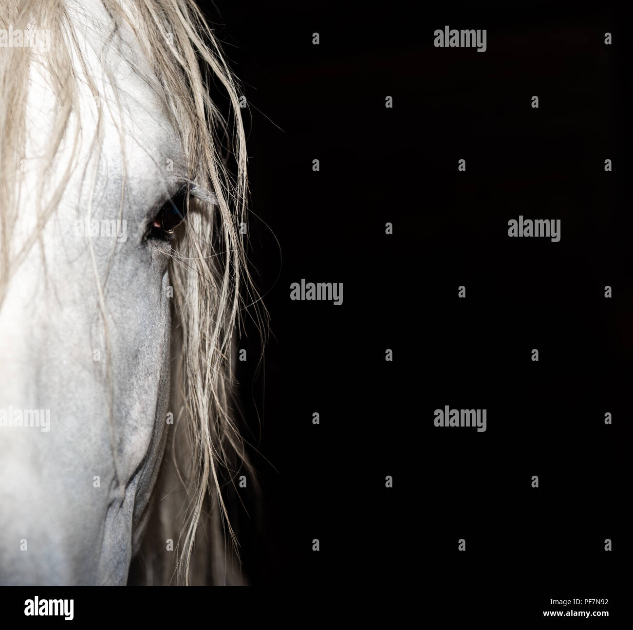 the calm eyes of an older Andalusian Stallion - Stock Image