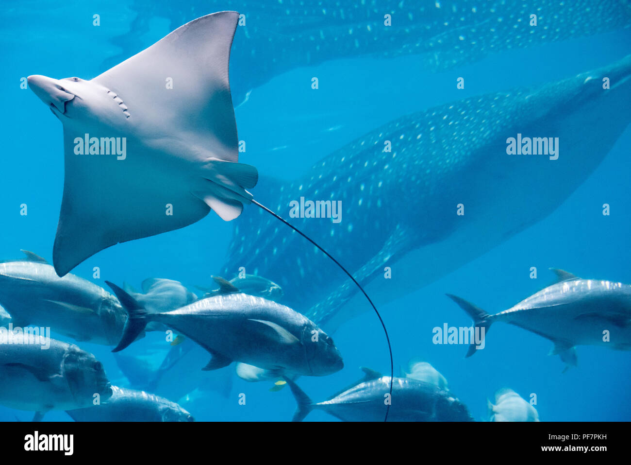 Spotted eagle ray and massive whale shark at the Georgia Aquarium in downtown Atlanta, Georgia. (USA) - Stock Image