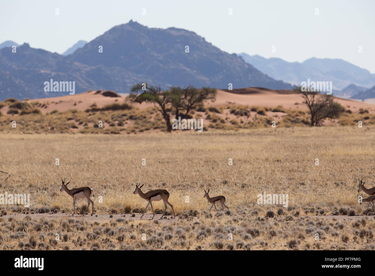 some antelope eating in the savanna of africa in the wild nature - Stock Image
