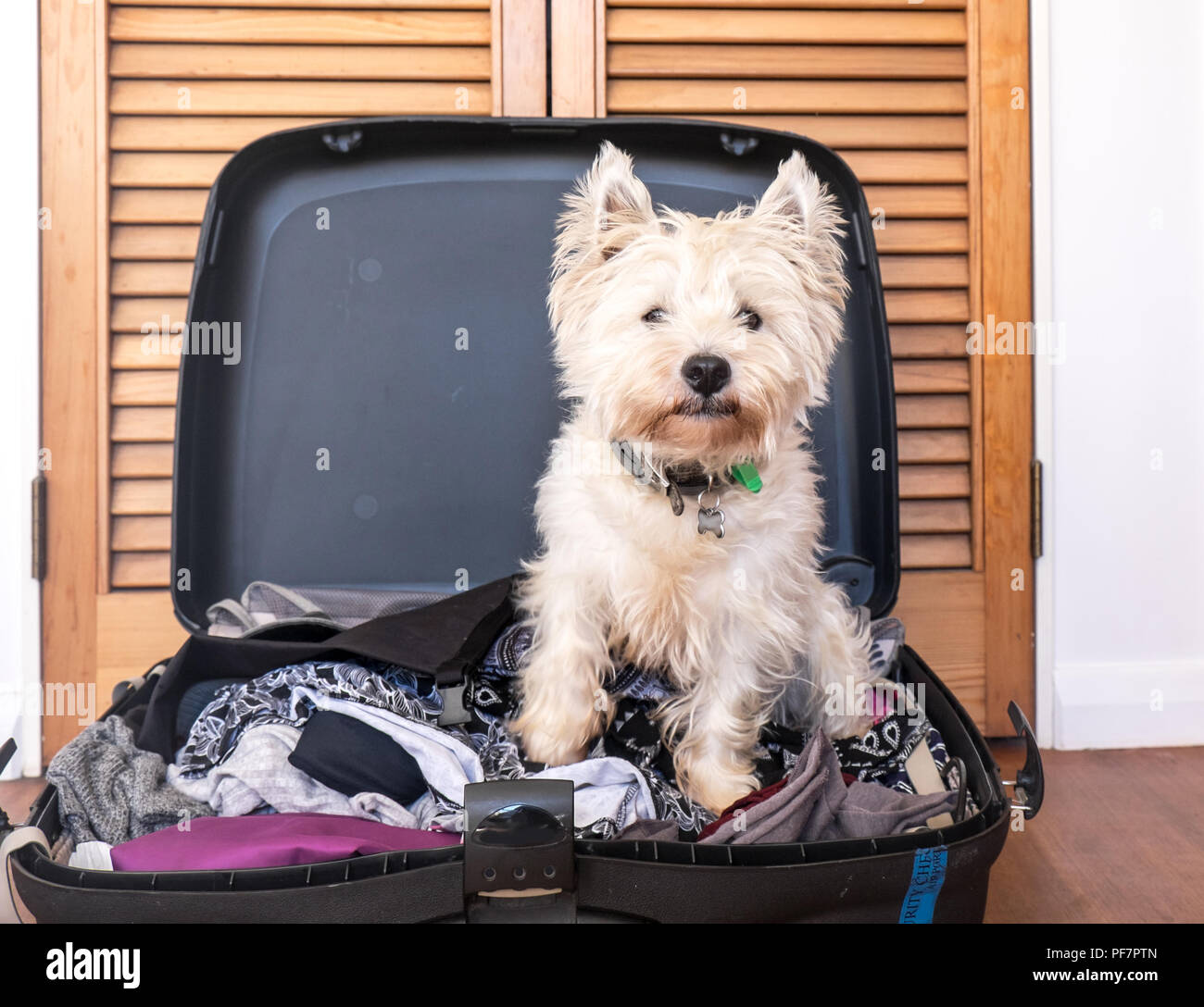 Pet friendly accommodation: scruffy west highland white terrier westie dog in packed suitcase luggage - Stock Image
