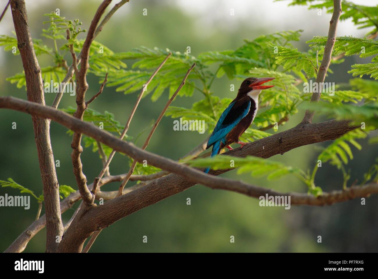 White Throated kingfisher is a tree kingfisher, widely distributed in Asia from Turkey east through the Indian subcontinent - Stock Image