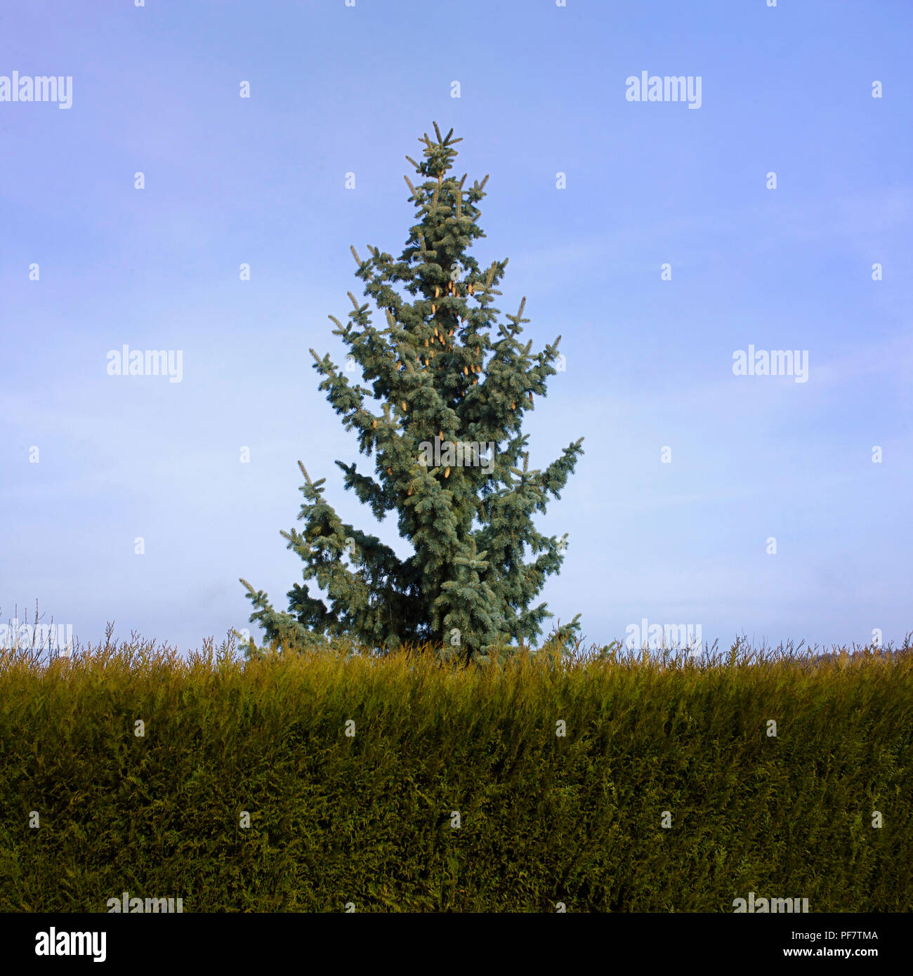 Close up on the top of a pine tree hidden behind a hedge of softwoods. France - Stock Image