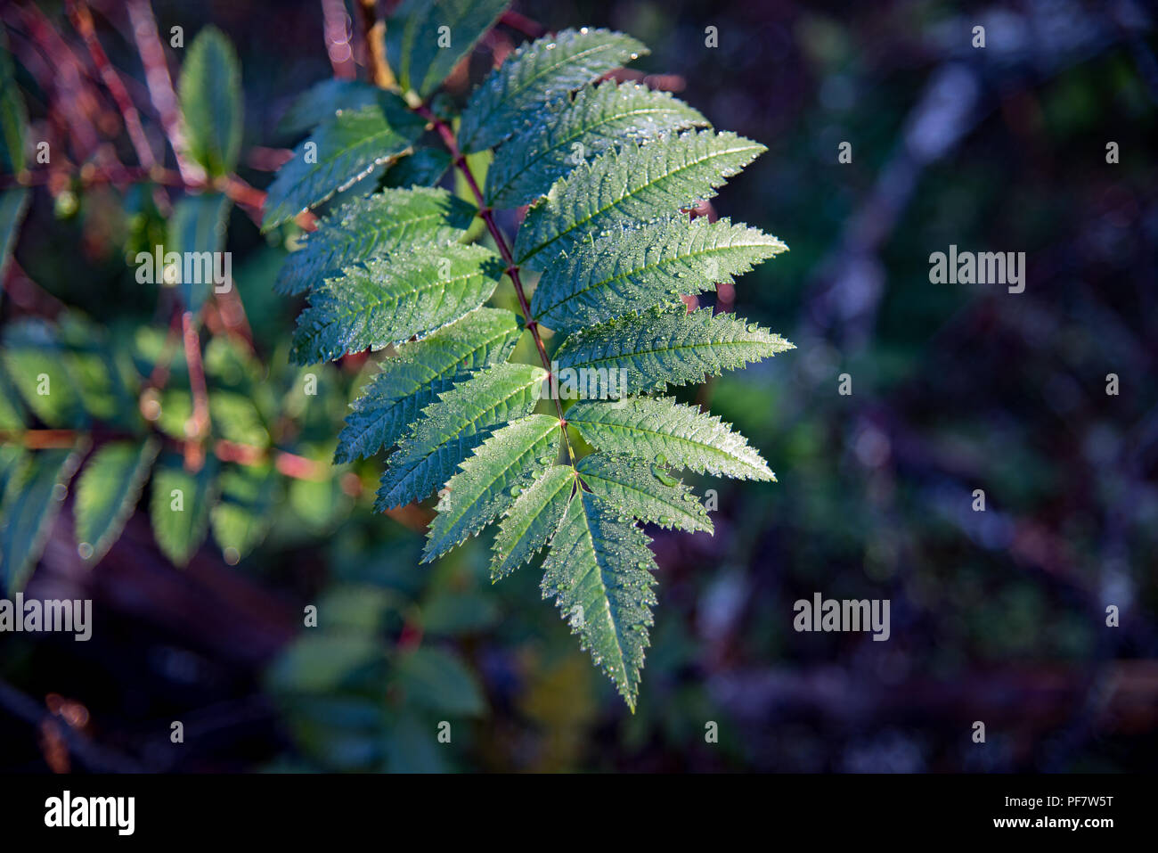 sun shines over a leaf from a rowan tree in a swedish forest - Stock Image