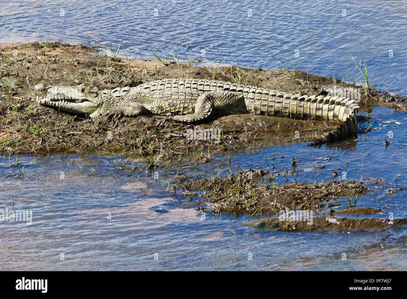 A three meter Crocodile basks in the warm morning sunshine on a small sand bank in the Great Ruaha River. Crocodiles have a very efficient blood circu - Stock Image