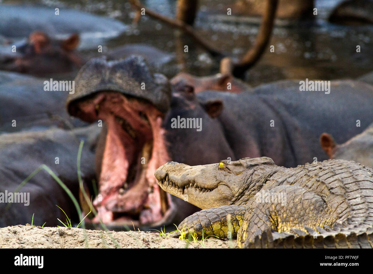 As the Katuma River dries put crocodiles and hippo are obliged to live in very close proximity and the croc, despite being an apex predator in the aqu Stock Photo