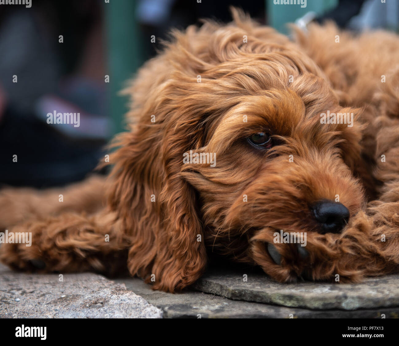 A young red cockapoo puppy lying relaxing on paving in the garden on a sunny day with a watching eye of activities nearby - Stock Image