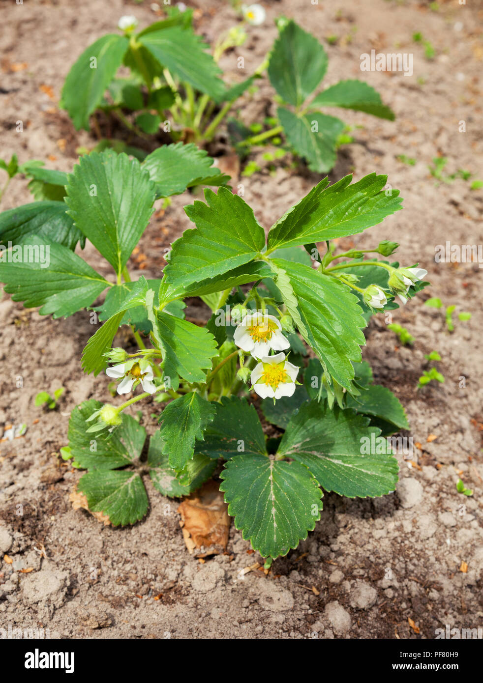 Blossoms Strawberry Bushes With White Flowers Stock Photo 215920357