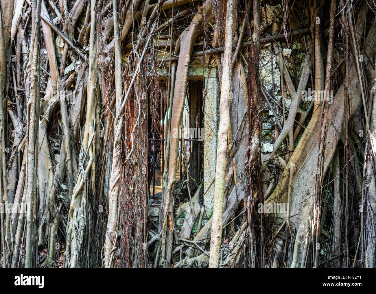 Wall and window covered by banyan tree roots in treehouse in Anping district Tainan Taiwan : post apocalytic building background concept - Stock Image
