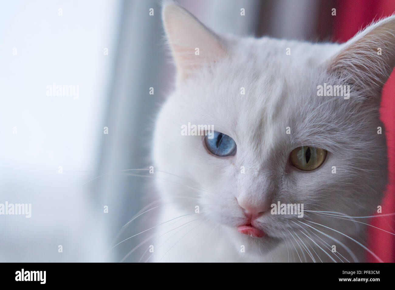 96b4736157 Cat with 2 different-colored eyes (heterocromatic eyes) — Turkish Angora. It