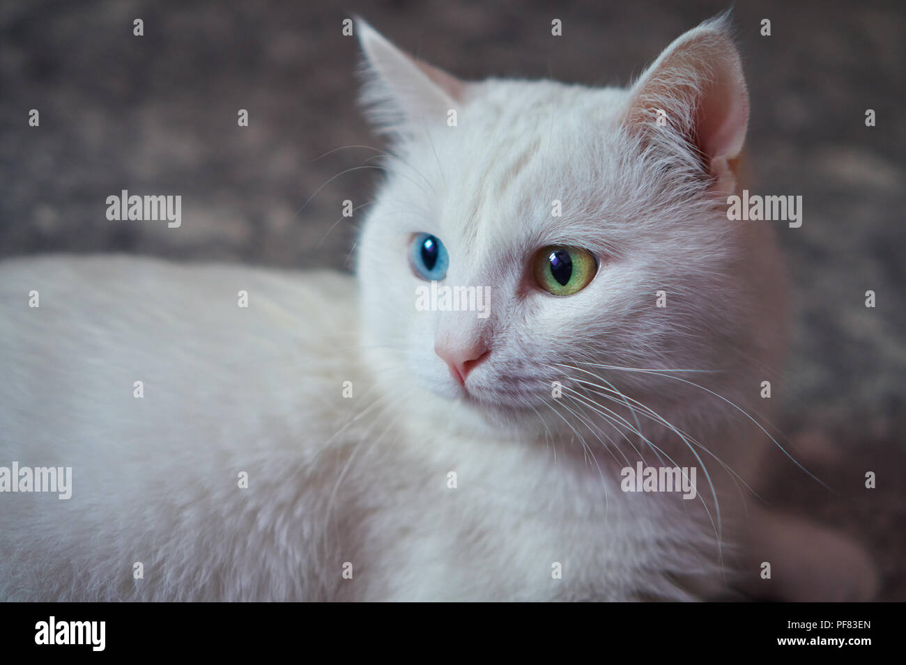 Cat with 2 different-colored eyes (heterocromatic eyes) — Turkish Angora. It is a cat with heterochromia. Cat looking to the left - Stock Image