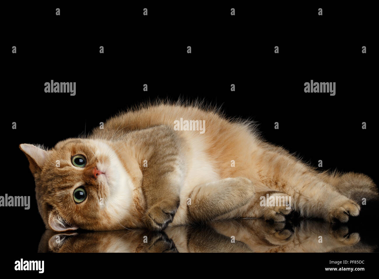 British Shorthair Cat Chinchilla Side High Resolution Stock Photography And Images Alamy