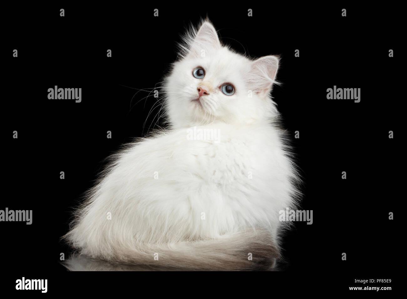 british shorthair cat kitten cream white stock photos