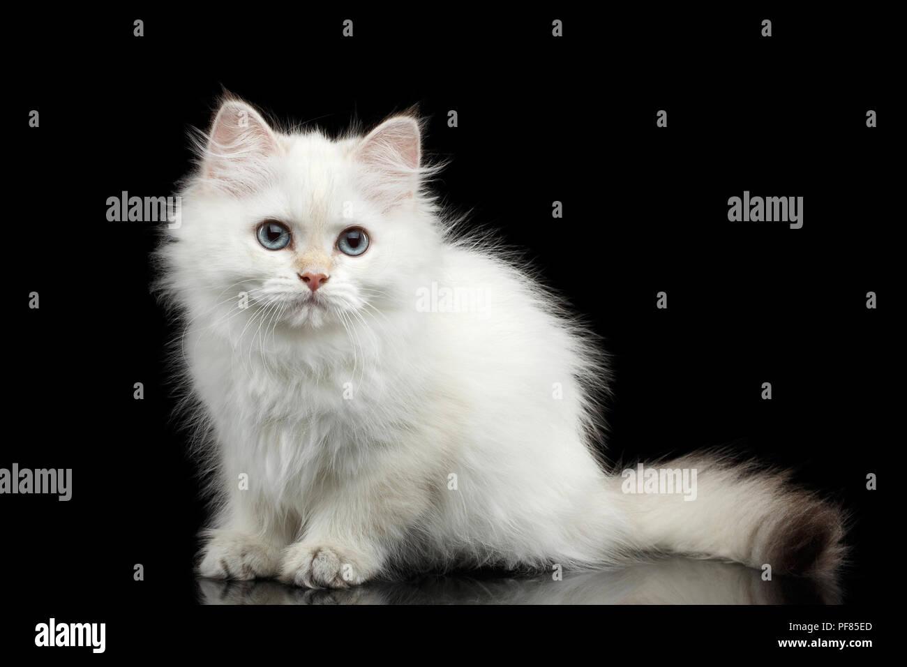 white british shorthair cat in stock photos amp white
