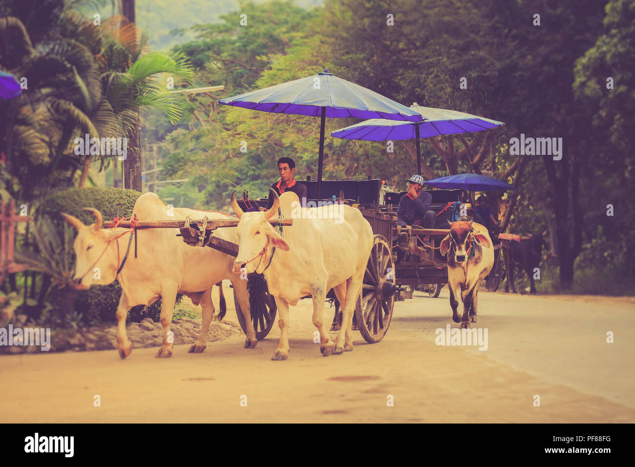 Traditional asian culture old style ox cart transportation traveller people in a national park - Stock Image