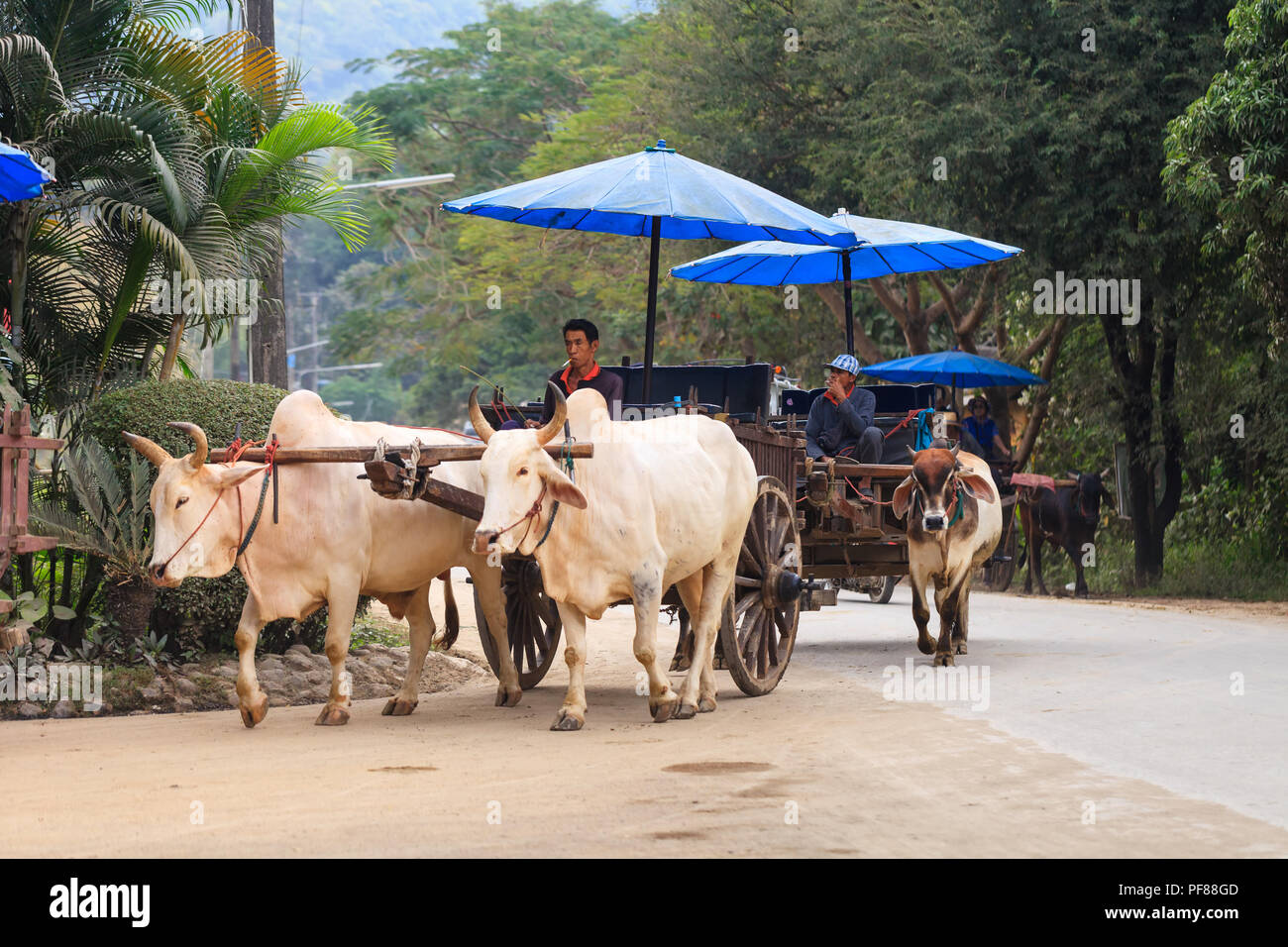Traveller tourist enjoy travel on ox cart through jungle in national park - Stock Image