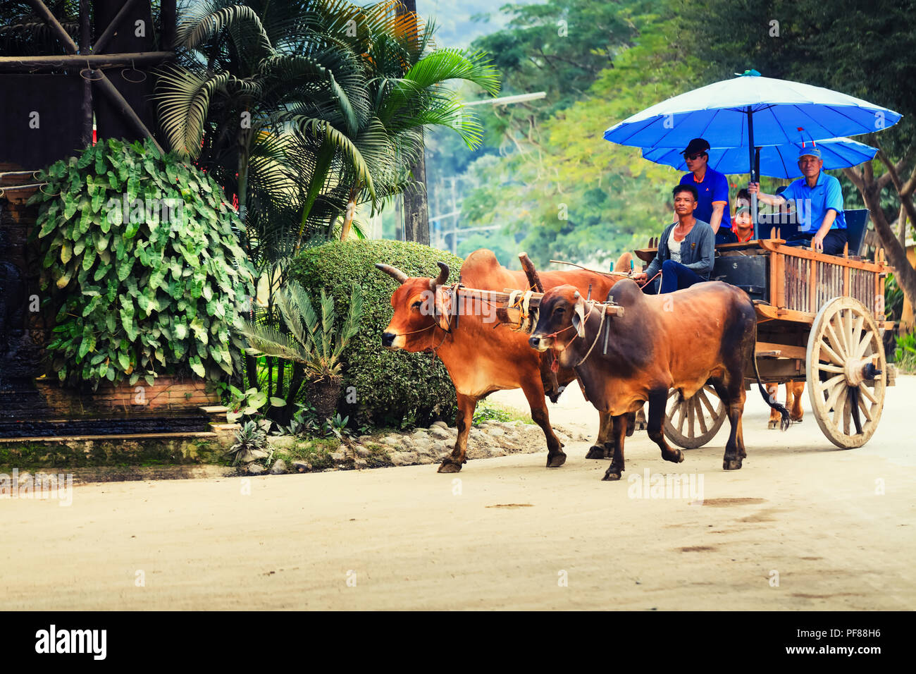 Traveller tourist enjoy travel on oxcart ox cart through jungle in national park - Stock Image