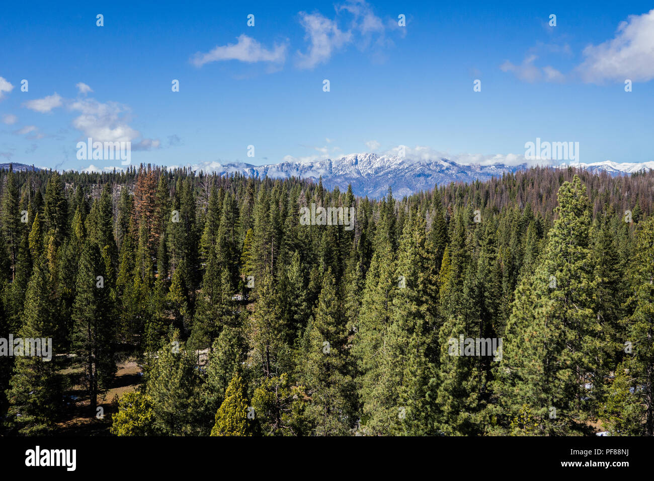 Pine tree forest stretches into the distance with snow-covered mountains beyond. Stock Photo
