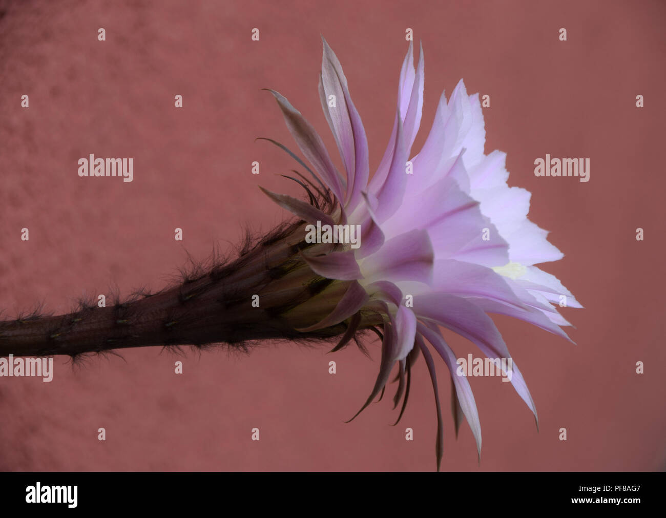 Echinopsis spachiana during flowering also called queen of the night flowers, side view of echinopsis flower in front of terra-cotta color background - Stock Image