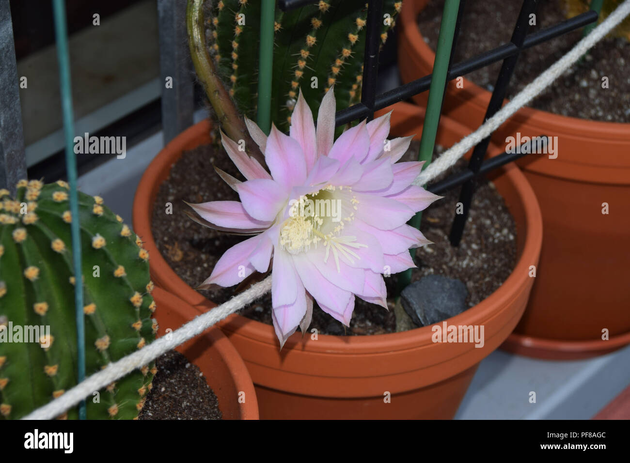 hedgehog cacti in pink bloom in clay pots with sandy soil, Echinopsis spachiana during flowering also called queen of the night flowers - Stock Image