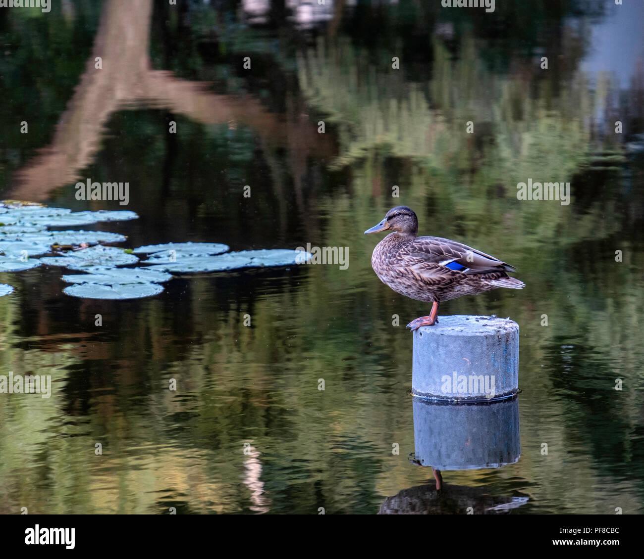 Berlin,Mitte, Volkspark am Weinbergsweg. Female Mallard duck, Anas Platyrhynchos, perches in a tranquil pond - Stock Image