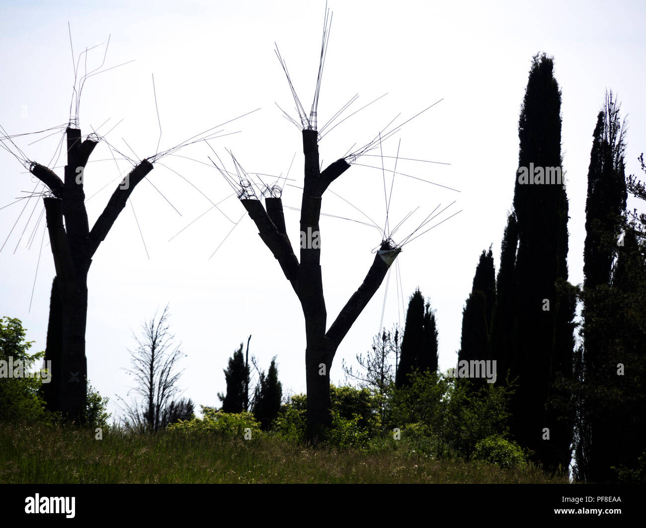 Silhouettes of trees from which branches have been pruned in backlighting - Stock Image