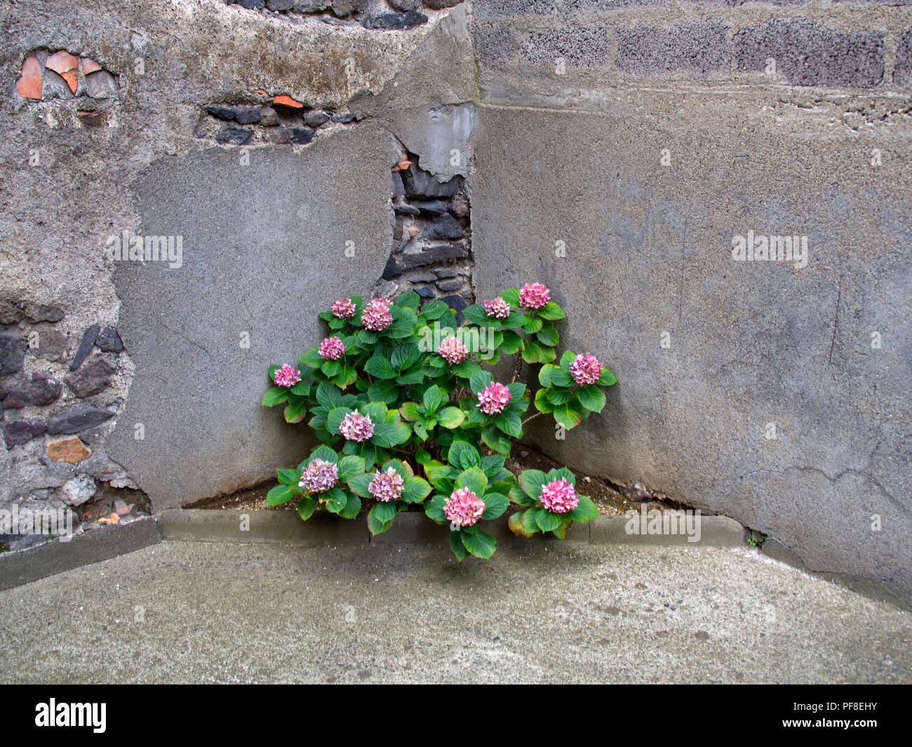 Pink hydrangea in the corner of a decrepit stone wall. Close-up - Stock Image