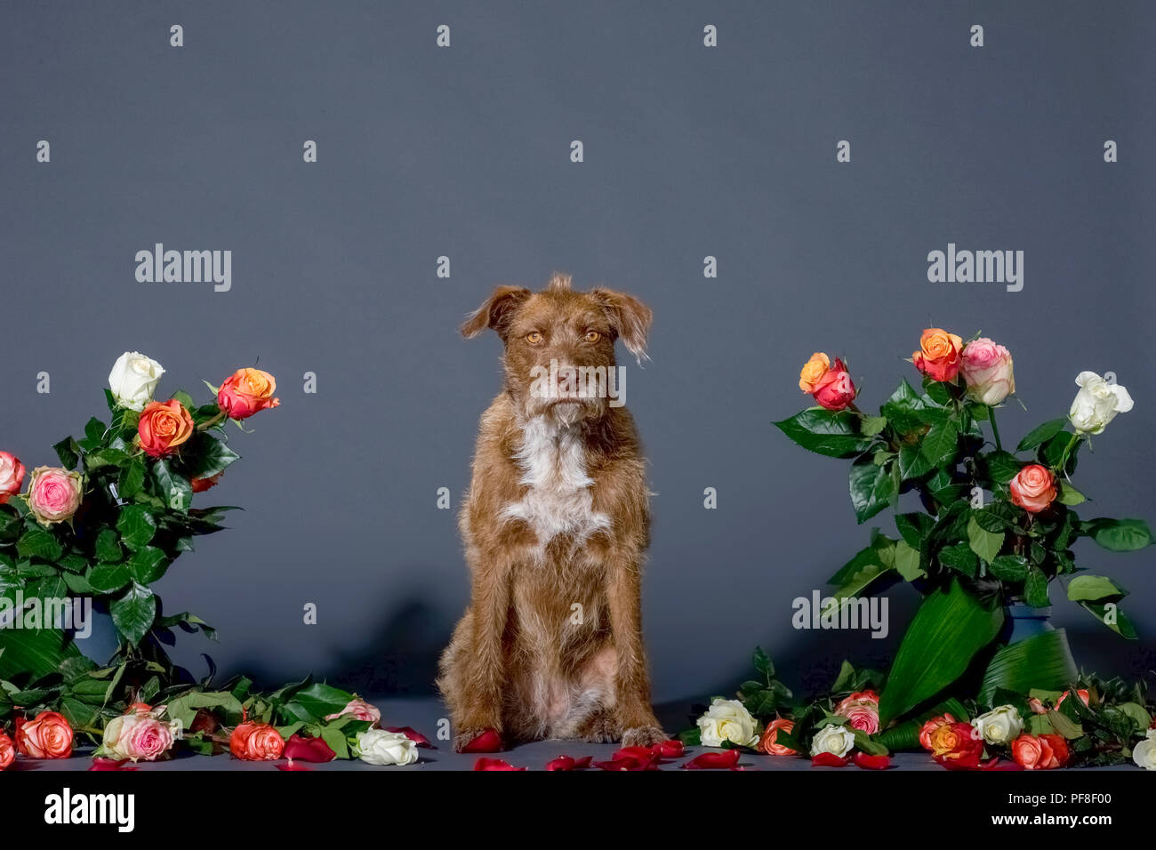 Studio shot of a sitting brown dog surrounded by flowers on the set with a black background Stock Photo