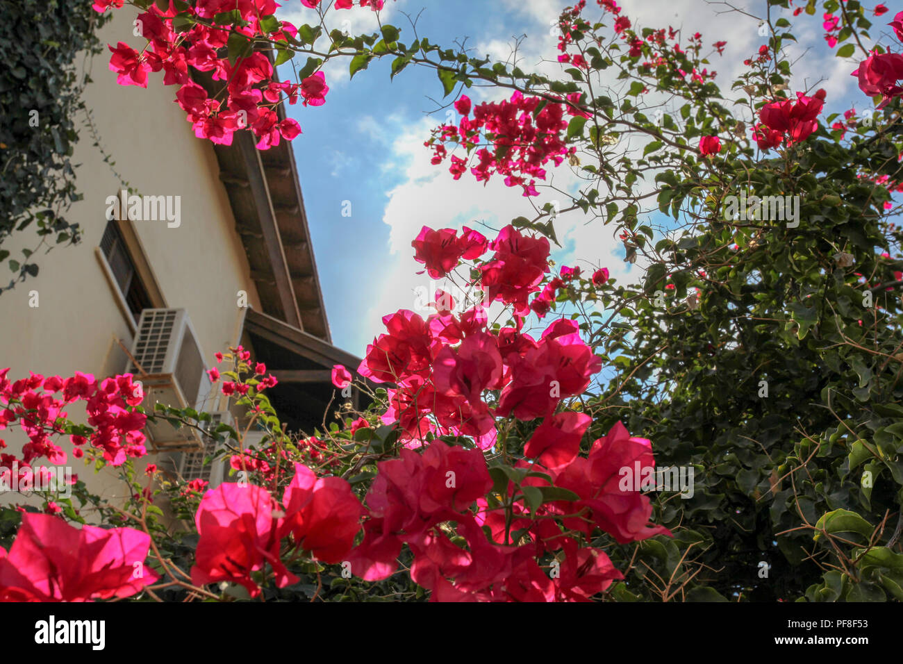 flowering bougainvillea plants Photographed in Neve Tzedek, Tel Aviv, Israel in October Stock Photo