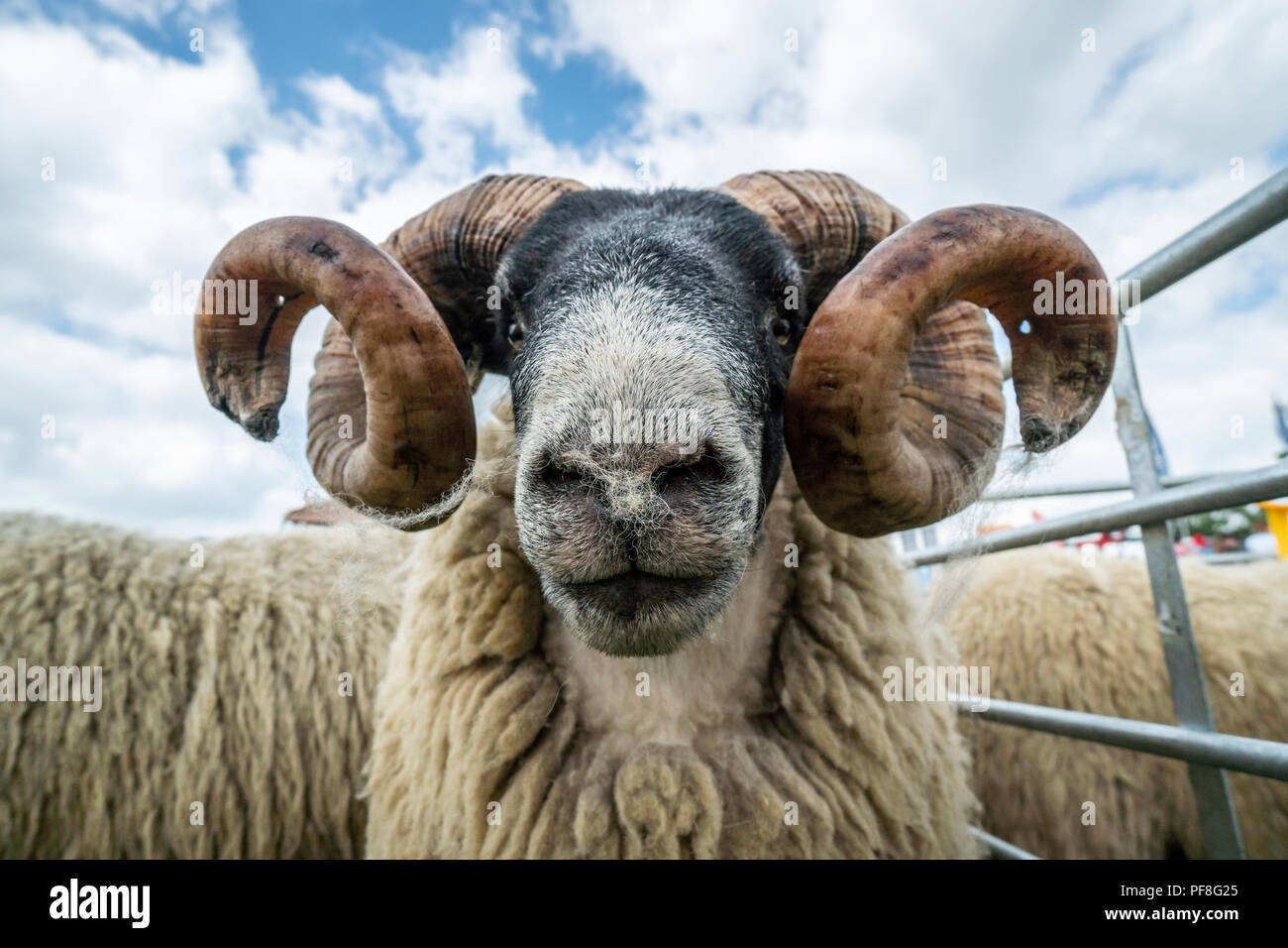 Scottish Blackface sheep on display in the  display at the Northumberland County Show 2018, Bywell, Northumberland, England - Stock Image