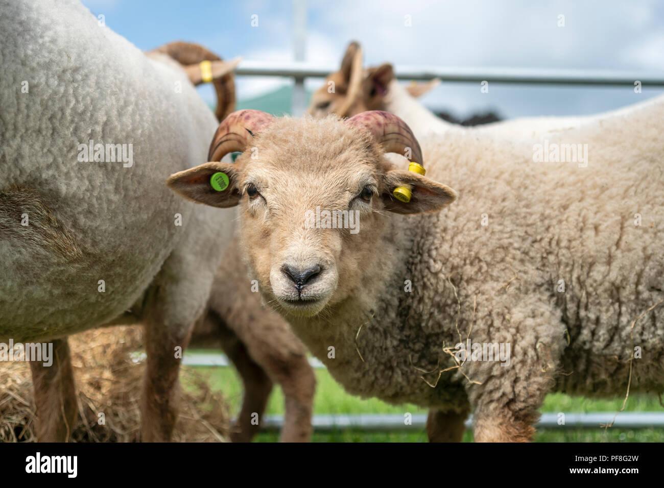 Portland sheep lamb on display at the Northumberland County Show 2018, Bywell, Northumberland, England - Stock Image