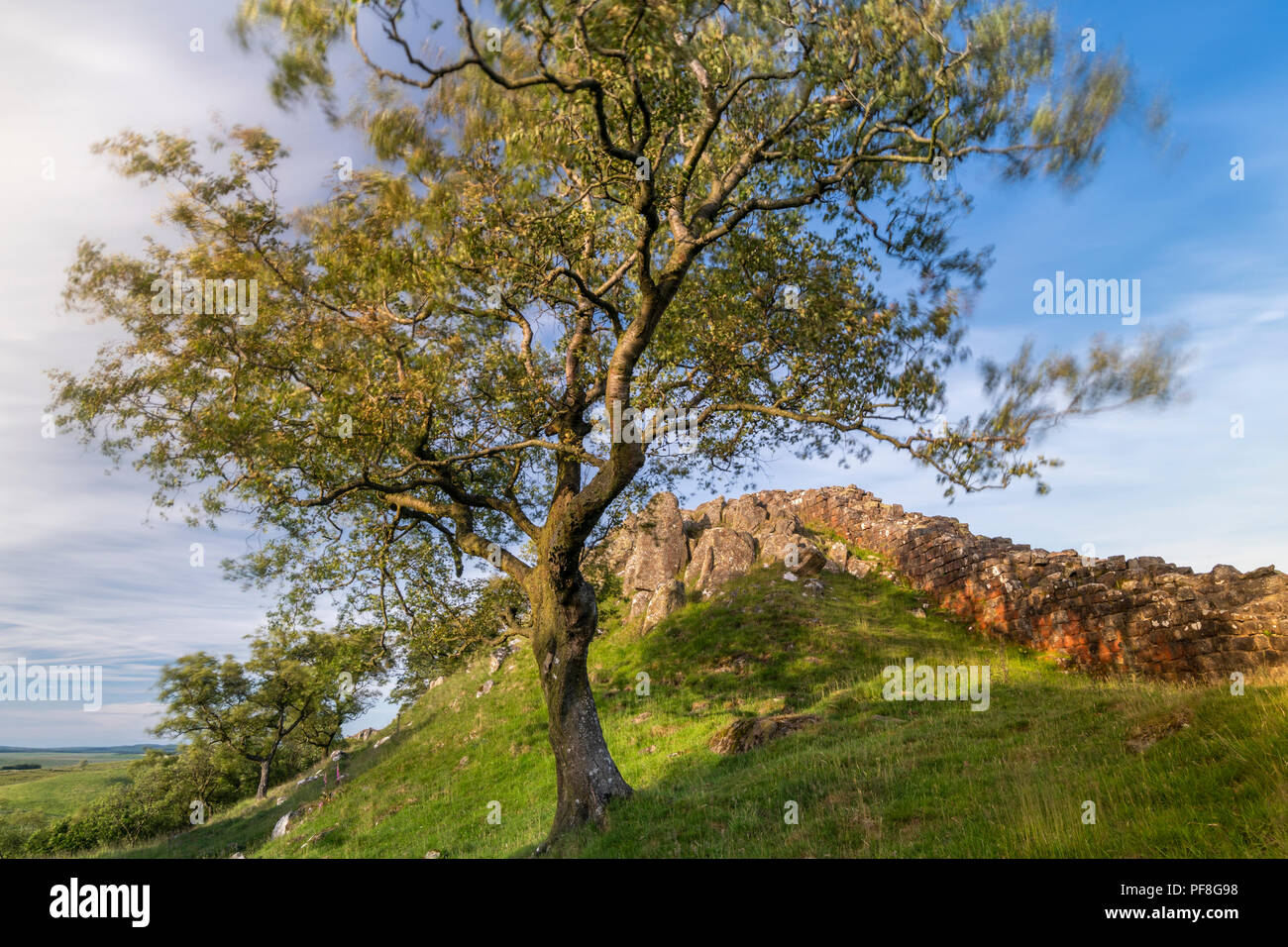 Walltown Crags and Hadrian's Wall framed by by a silver birch, Northumberland National Park, England - Stock Image