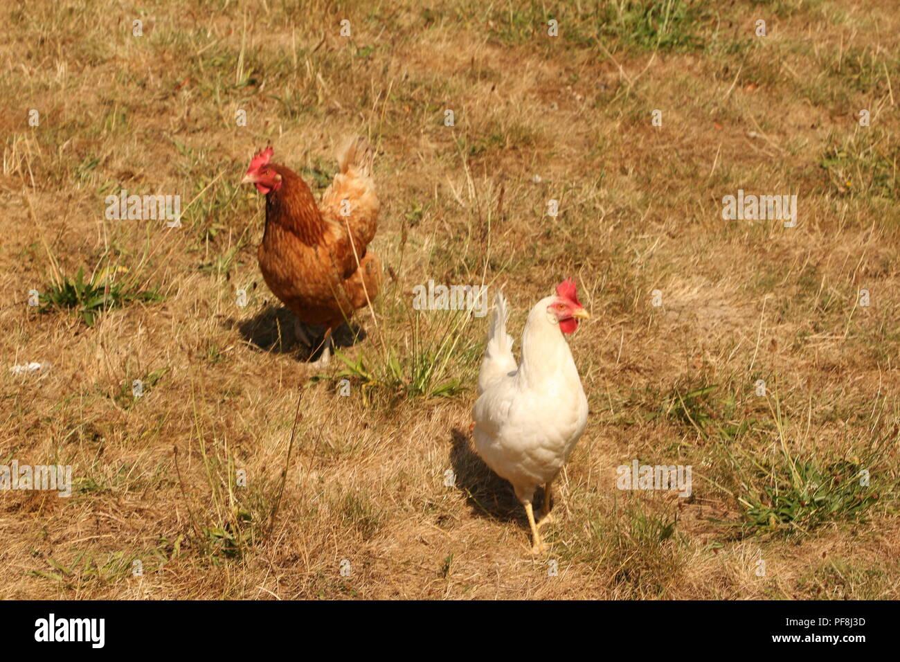 Hühner auf einer Hühnerfarm in Visbeck im Sauerland Stock Photo