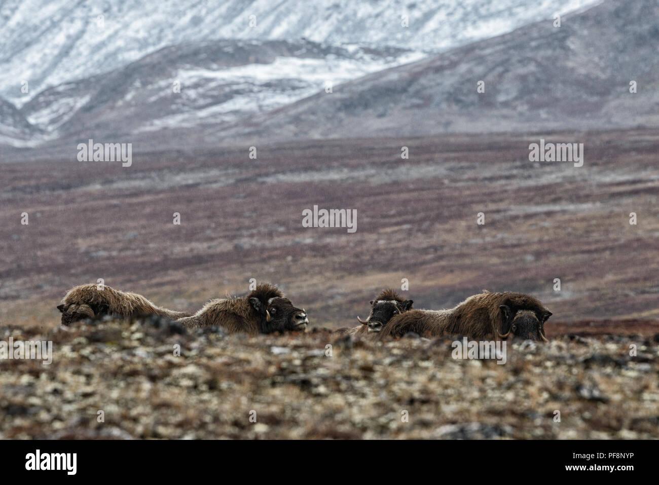 A group of muskoxen in autumn, Sydkap Jytte Havn, Scoresby Sund, Kangertittivaq, Greenland, 2017 - Stock Image