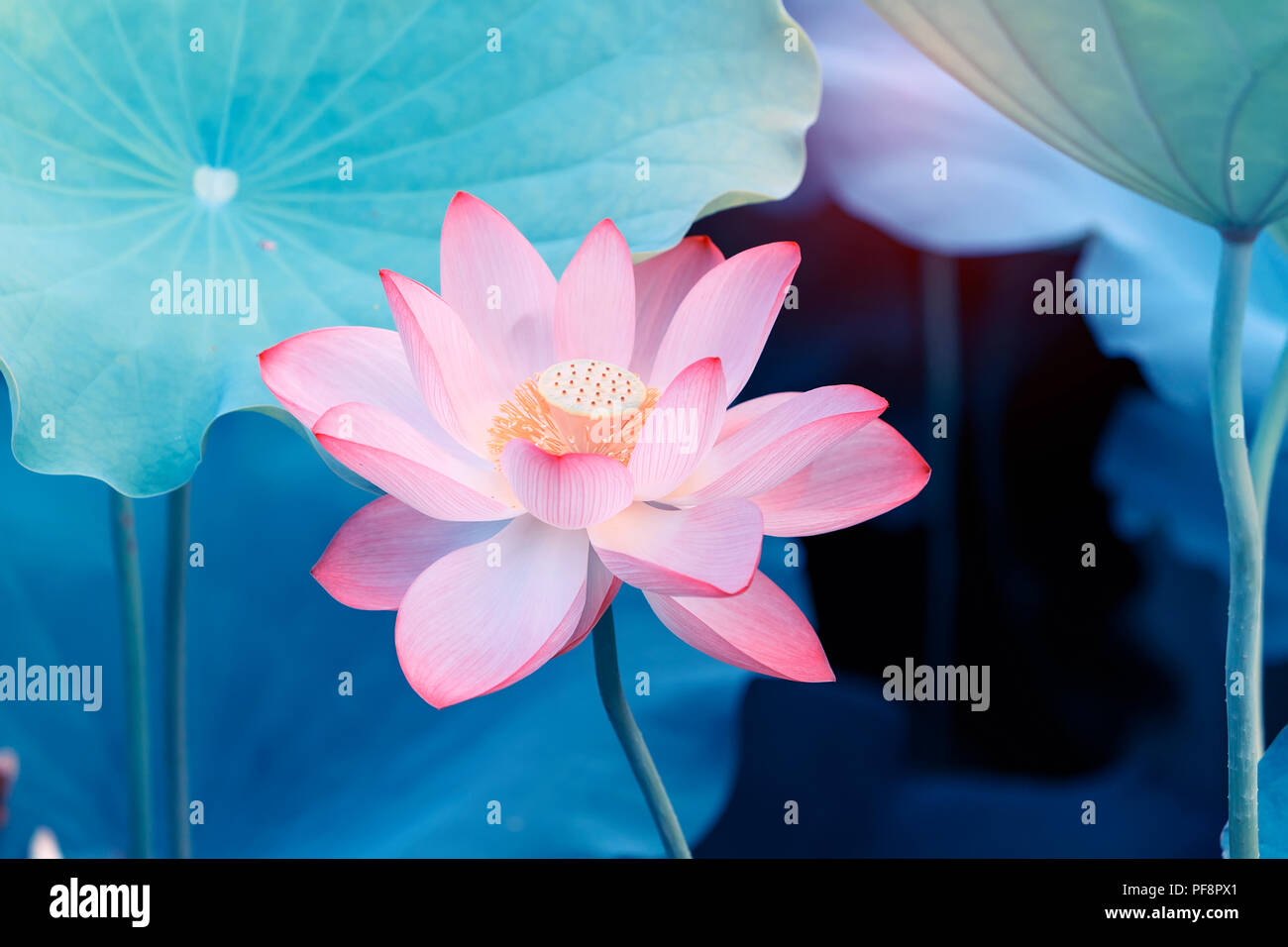 Lotus Flower And Lotus Flower Plants Stock Photo 215937849 Alamy
