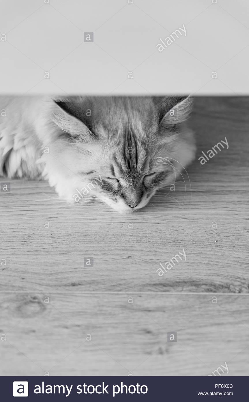 Long hair Siberian house cat sleeping under a furniture - Stock Image