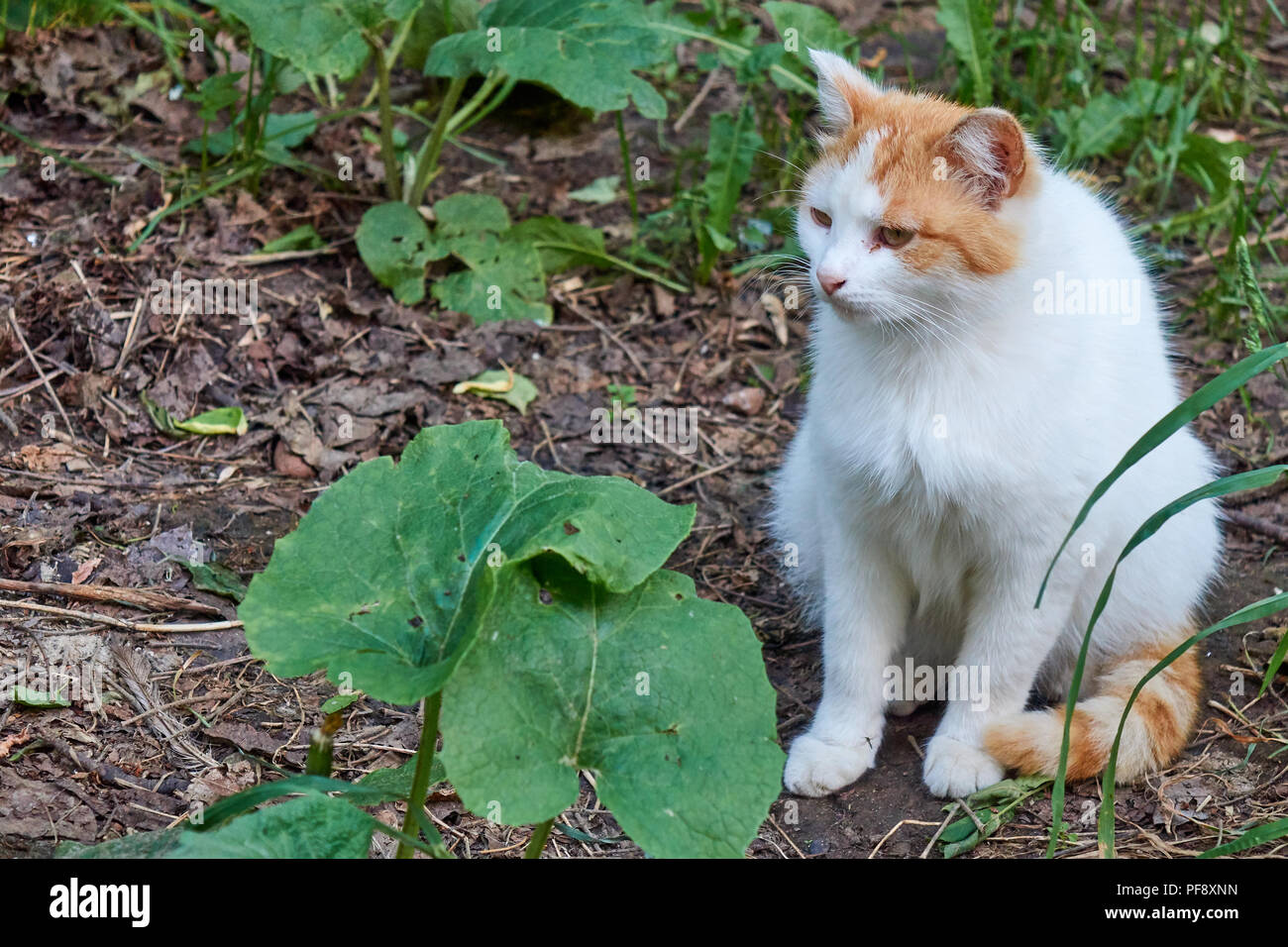 Old serious multi color ginger and white hungry homeless cat with a sad look outdoor portrait Stock Photo
