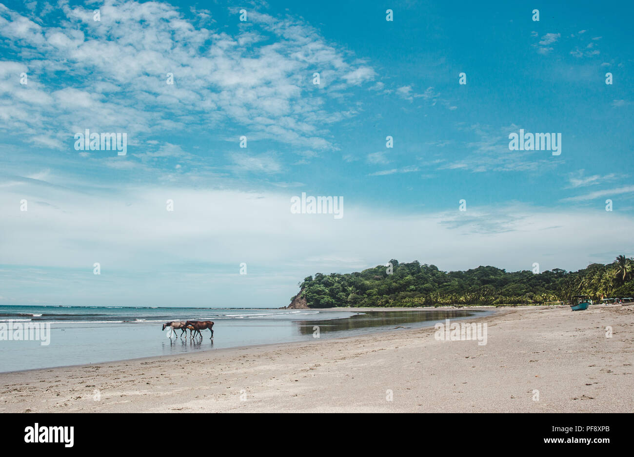 Wild horses of Sámara, Costa Rica cool down from a hot day in the shore of the Pacific Ocean - Stock Image