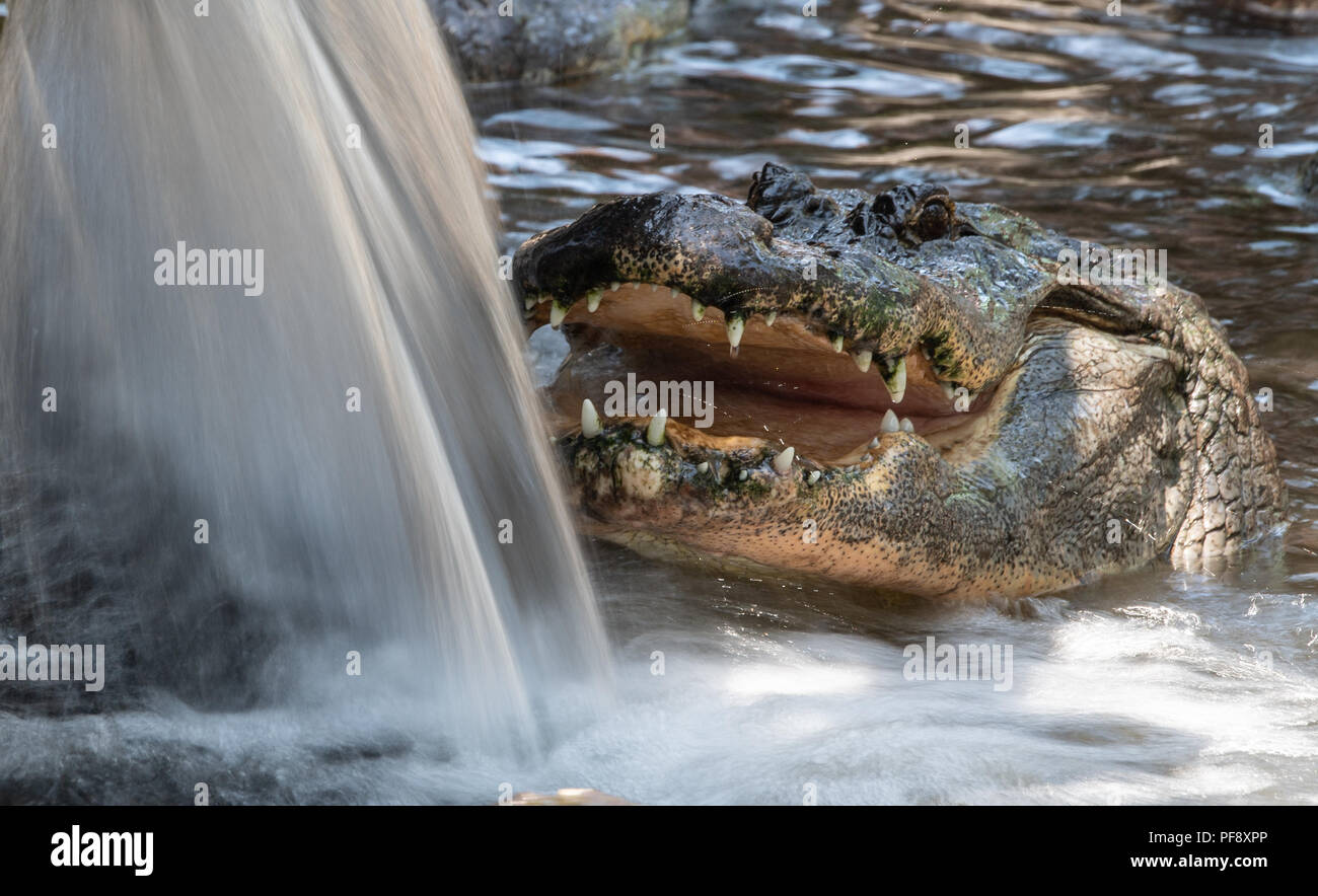 Alligator in the water looking for Food - Stock Image