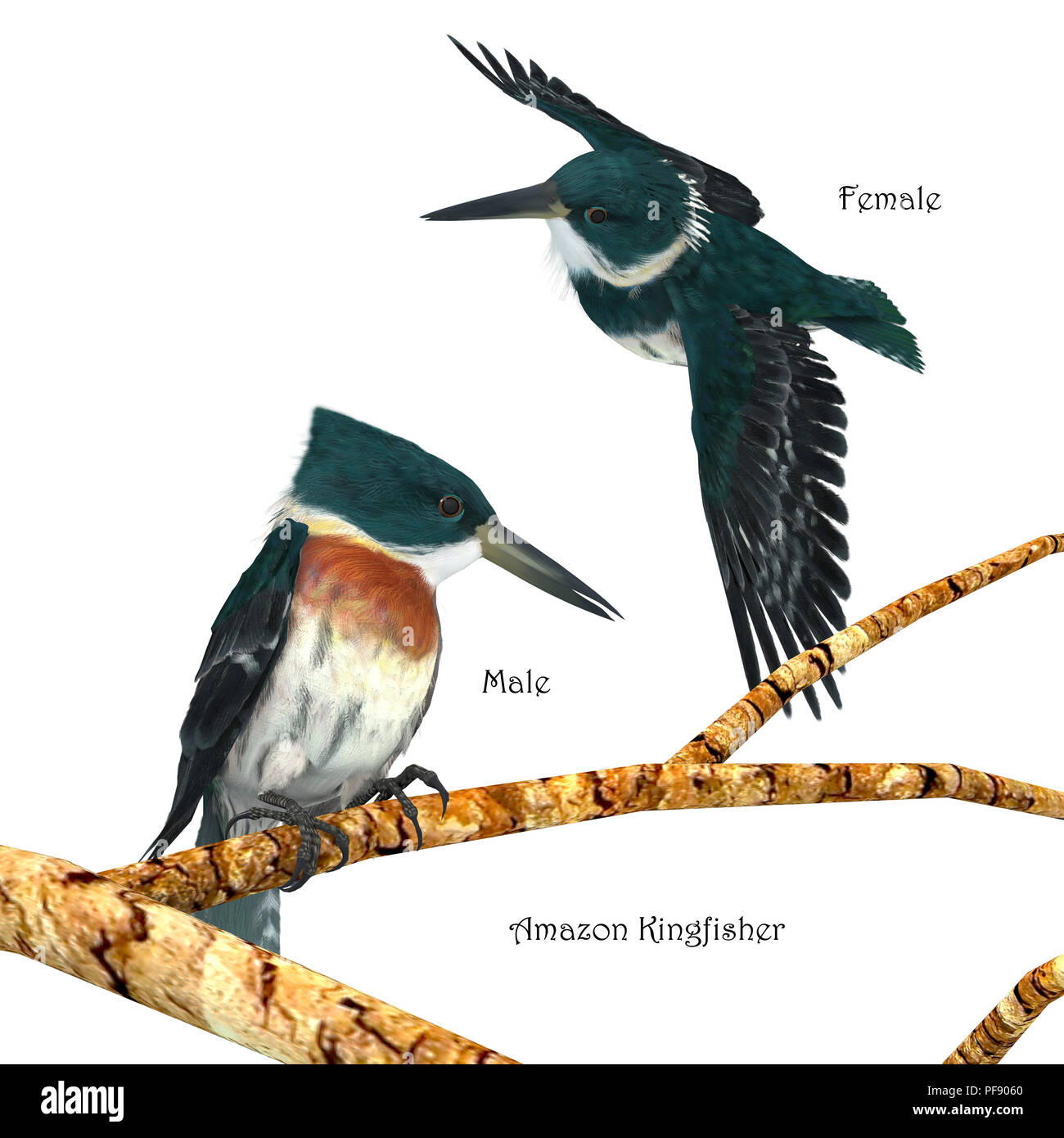 Amazon Kingfisher - Amazon Kingfishers usually perch on a branch near a river and then plunge head first into the water to hunt small prey. - Stock Image