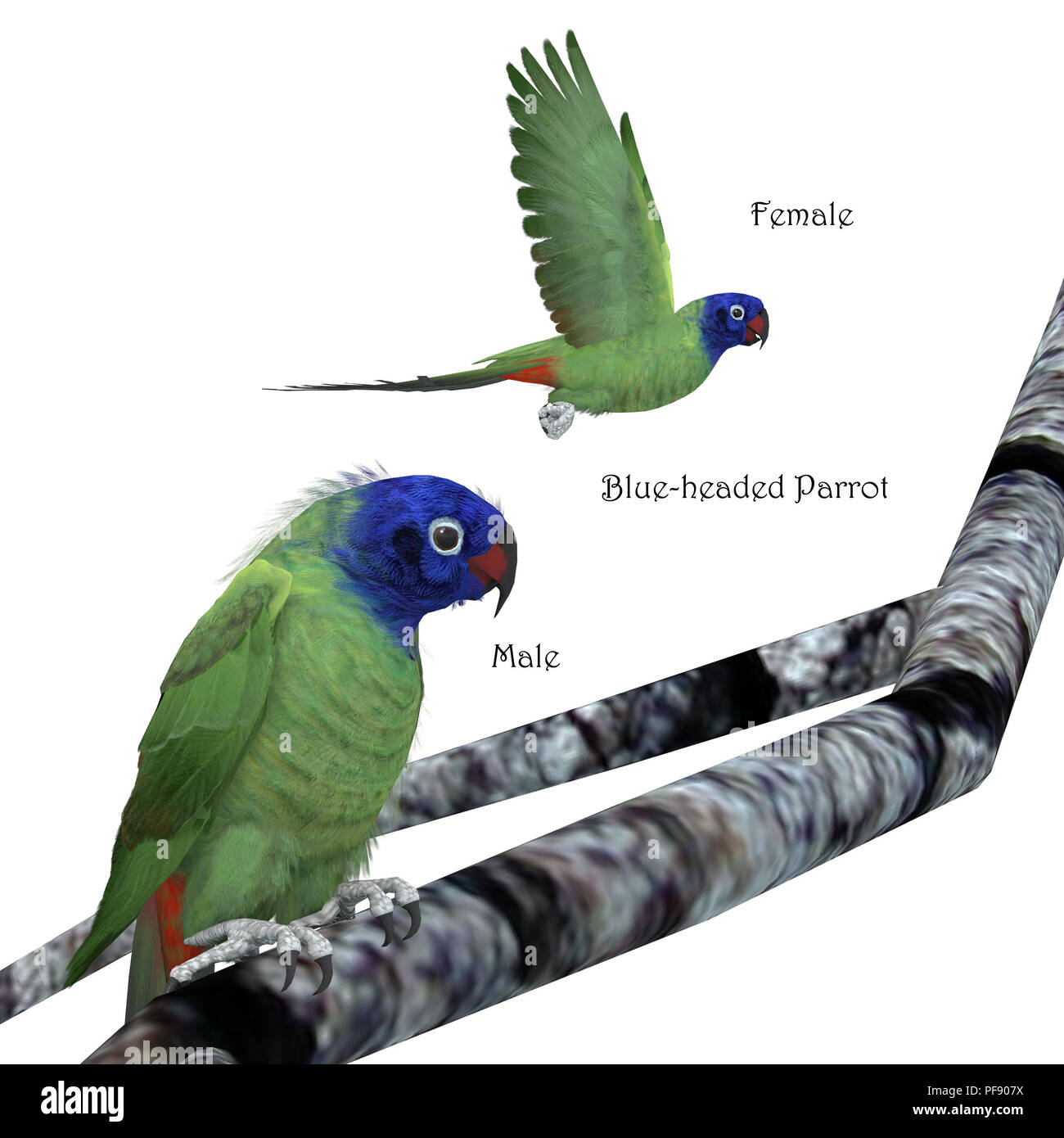 Blue-headed Parrot - The Blue-headed parrot is a noisy bird from Central and South America and eats fruits and seeds. - Stock Image