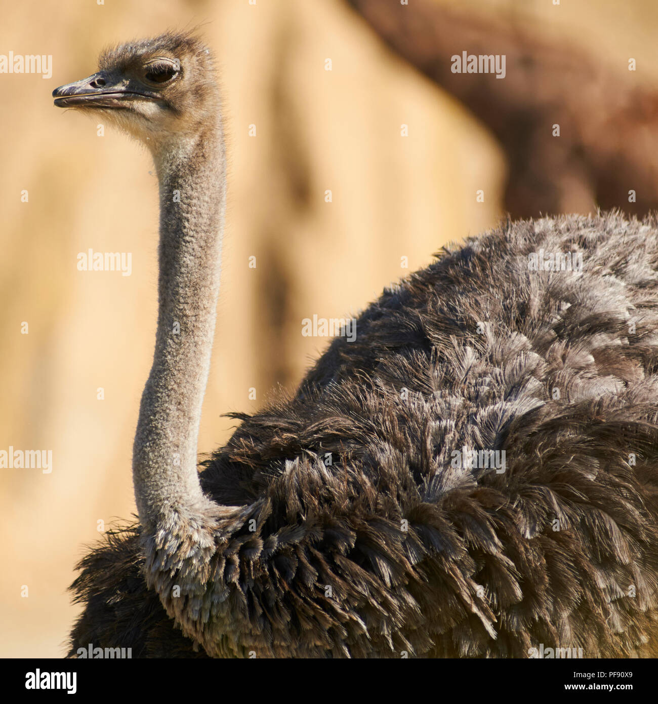 An emu at the Melbourne zoo. - Stock Image