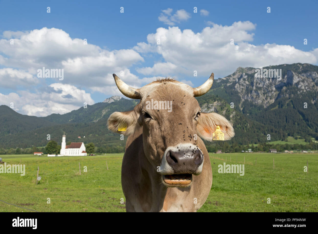 cow in front of St. Coloman Church near Schwangau, Allgaeu, Bavaria, Germany - Stock Image