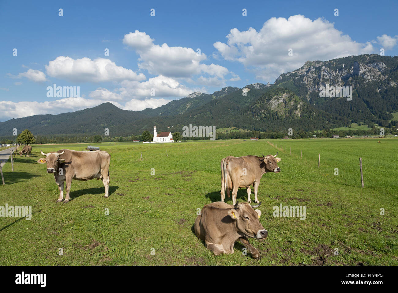 cows in front of St. Coloman Church near Schwangau, Allgaeu, Bavaria, Germany - Stock Image